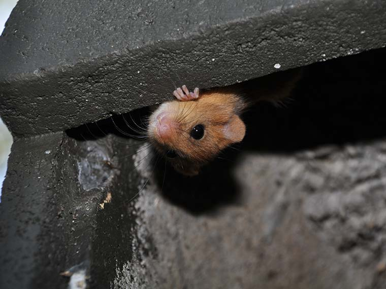 Dormouse in bat box