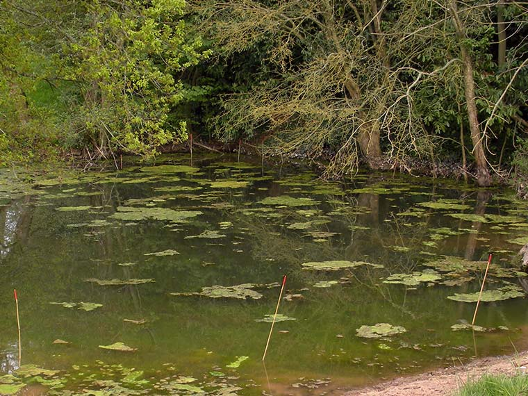 Great Crested Newt Pond Survey