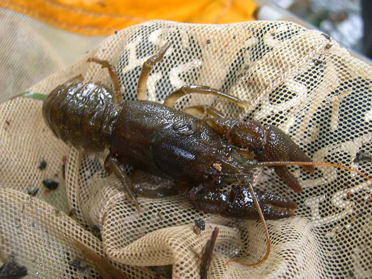 White-clawed crawfish found during hand-netting